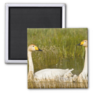 Whooper swan pair with cygnets in Iceland. Square Magnet