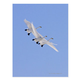 Whooper Swans flying in the sky Postcard