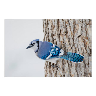 Wichita County, Texas. Blue Jay 4 Poster