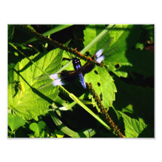 Widow Slimmer Dragonfly Photo Print