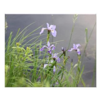 Wild Arctic Iris Photographic Print