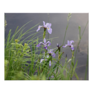 Wild Arctic Iris Poster