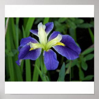 Wild Blue Iris Print