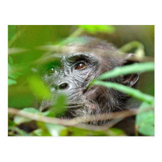 Wild Chimpanzee (Pan Troglodytes) Looking Postcard