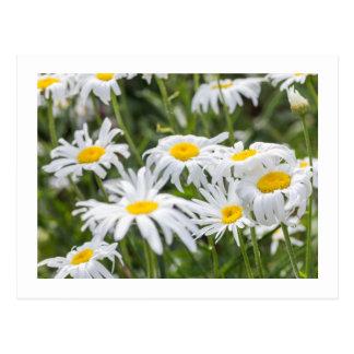 Wild Daisies Postcard