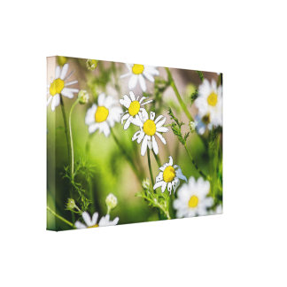 Wild Flower Field White Daisy Floral Photograph Stretched Canvas Prints