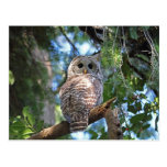 Wild Hoot Owl Staring in the Forest Post Card