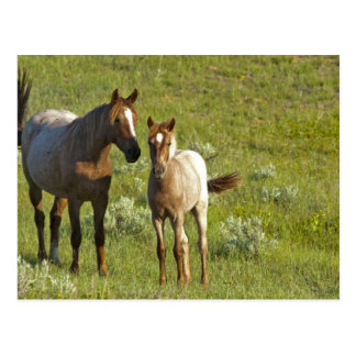 Wild Horses at Theodore Roosevelt National Postcard