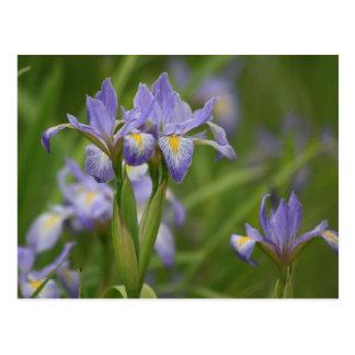 Wild Iris Postcard