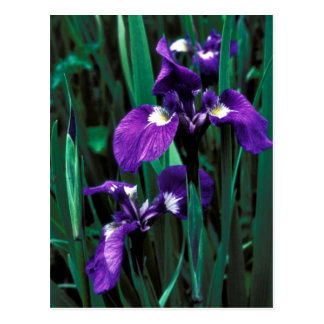 Wild Iris Post Cards