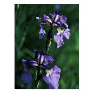 Wild Iris Post Card