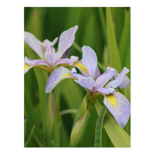 Wild Iris Postcards