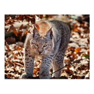 Wild Lynx Postcard