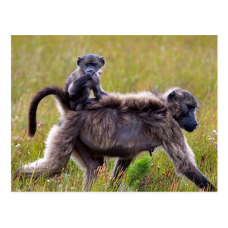 Wild Mother and Baby Baboons, South Africa Postcard