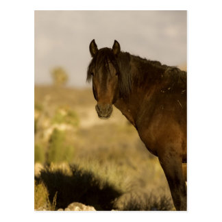 Wild Mustang stallion, Wheeler Peak herd, Cold Postcard