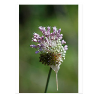 Wild Onion Wildflower Crow Garlic - Allium vineale Postcard