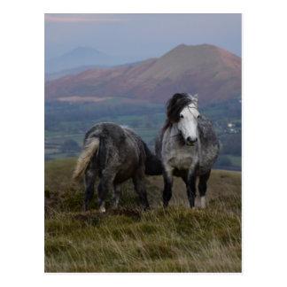 Wild Ponies Postcard