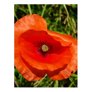 Wild poppy postcard