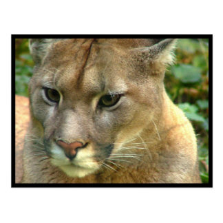 Wild Puma Postcard