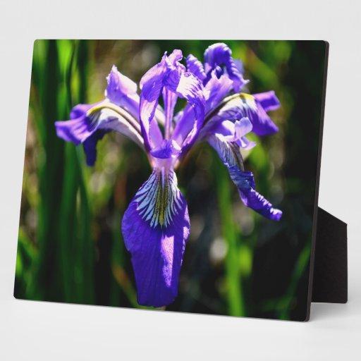 Wild Purple Iris Display Plaque