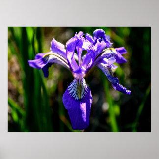 Wild Purple Iris poster