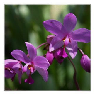 Wild Purple Orchids on Poster