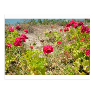 Wild Red Geraniums Postcards