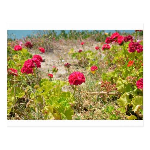Wild Red Geraniums Postcards