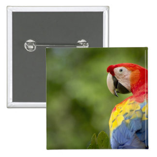 Wild scarlet macaw, rainforest, Costa Rica 15 Cm Square Badge