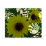 Wild Sunflowers Postcards