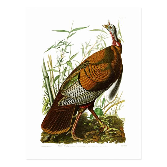 Wild Turkey John James Audubon Birds of America Postcard