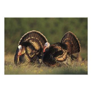 Wild Turkey, Meleagris gallopavo,males Art Photo