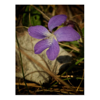 Wild Violet by Shawna Mac Postcard