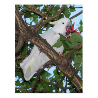 Wild White Cockatoo Parrot Postcard
