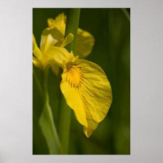 Wild Yellow Iris poster print gift idea