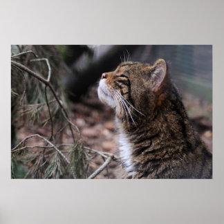 Wildcat Contentment print