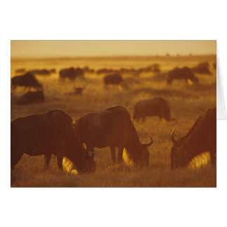 Wildebeest grazing at sunset, Maasai Mara, Card