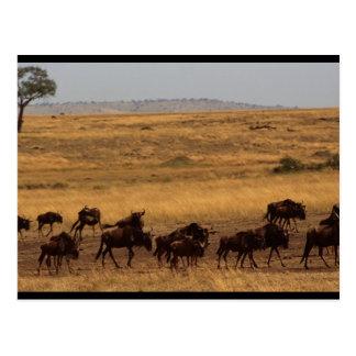 Wildebeest Herd Postcard
