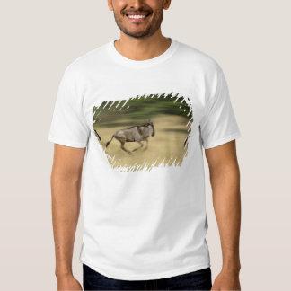 Wildebeest in motion, Connochaetes taurinus, Shirts