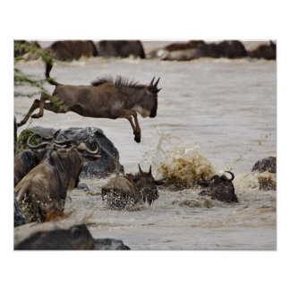 Wildebeest jumping into Mara River during Poster