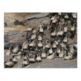 wildebeest mara river postcard