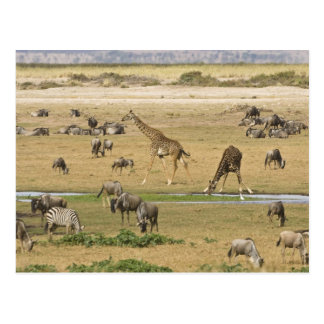 Wildebeests, Zebras and Giraffes gather at a Postcard