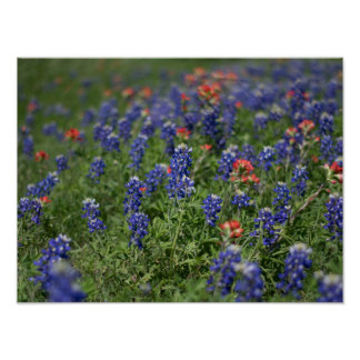 Wildflowers: Bluebonnets & Indian Paintbrushes Poster