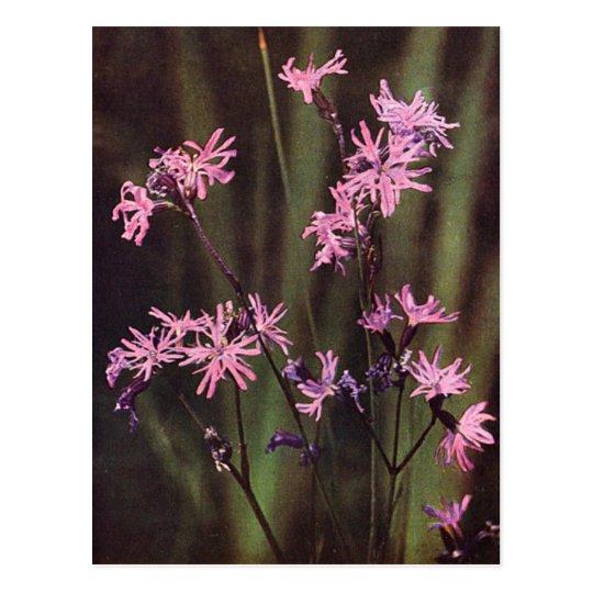 Wildflowers: Ragged Robin Postcard