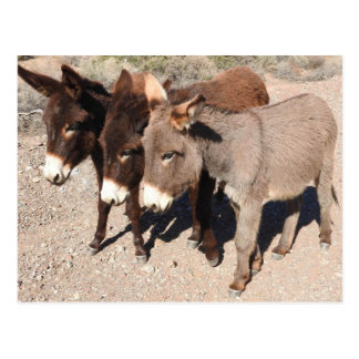 Wildlife postcards, donkeys, burros postcard