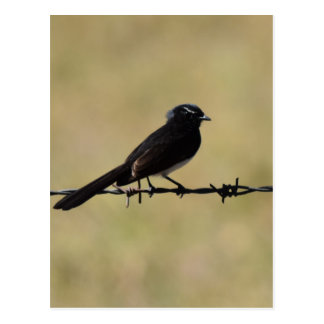 WILLIE WAGTAIL ON FENCE QUEENSLAND AUSTRALIA POSTCARD
