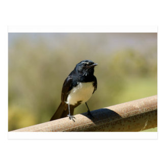 Willie Wagtail Postcard