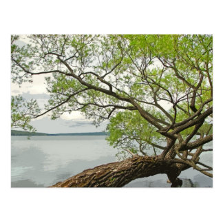 Willow at Cayuga Lake Postcard