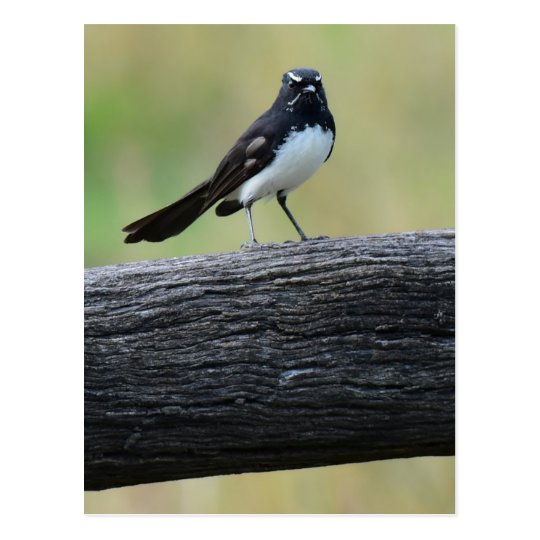 WILLY WAGTAIL ON FENCE QUEENSLAND AUSTRALIA POSTCARD
