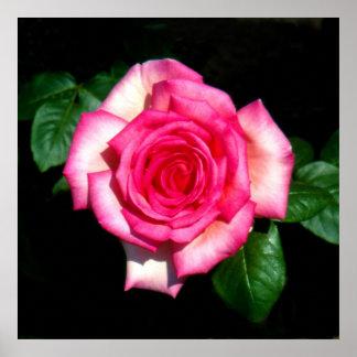 WIMI hybrid tea rose Print